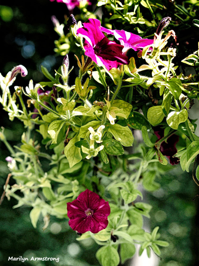 deck flowers summer petunias